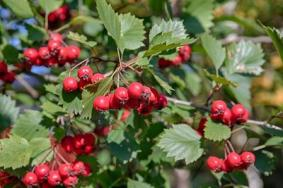 hawthorn branch with ripe berries close up